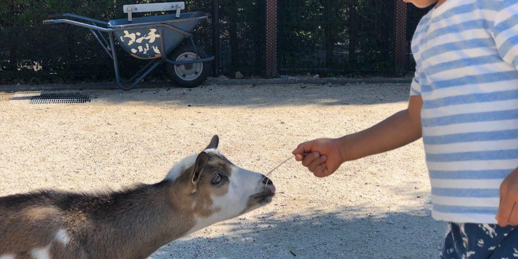 安佐動物公園ぴーちくパークヤギ
