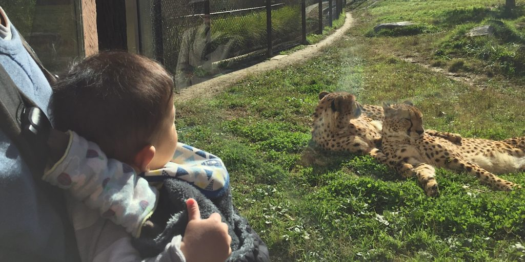 安佐動物公園チーター