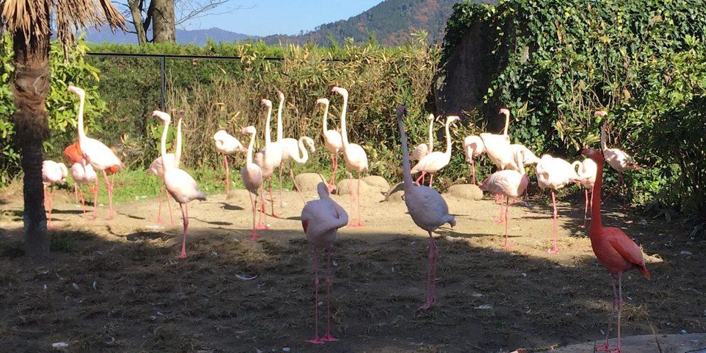 安佐動物公園フラミンゴ